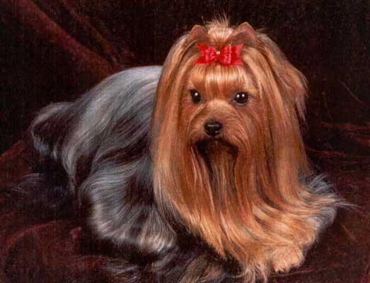 http://sarkinologia.narod.ru/images/dogs/york_2b.jpg